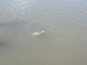 Oyster Creek Inn. Swimming Turtle.1